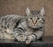 A thick striped cat Stock Image