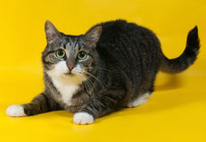 Thick striped cat lies on yellow Royalty Free Stock Photo