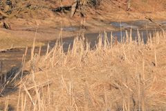 Dormant River Grass and Marshland. Thick, sunlit river grass dormant during the late winter and early spring season royalty free stock photography