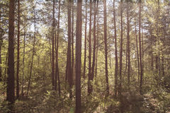 Thick sunny forest. Thick sunny Siberian pine forest Stock Image