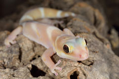 Thick Tail Gecko Royalty Free Stock Photos
