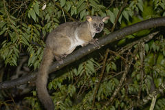 Thick-tailed Bushbaby, South Africa. Brown Greater Galago, also Thick-tailed Bushbaby (Otolemur crassicaudatus). Isinkwe Backpackers, Hluhluwe, South Africa Stock Photography