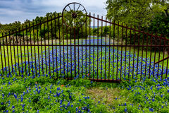 Thick Texas Bluebonnet Wildflowers on Old Road. Royalty Free Stock Image