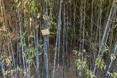 Thick thickets of young bamboo. Landscape. Bambusa nigra. Thick thickets of young bamboo. Landscape stock photo