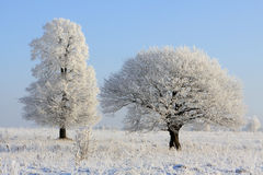 Thick and thin winter oak Royalty Free Stock Images
