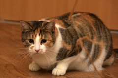 Thick three-color pet cat lying Stock Image