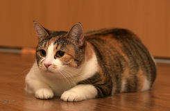 Thick three-color pet cat lying Royalty Free Stock Photography