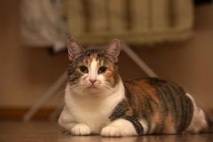 Thick three-color pet cat lying Stock Photography