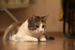 Thick three-color pet cat lying Stock Images