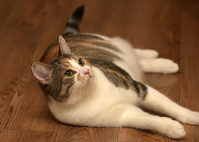 Thick three-color pet cat lying Stock Photo