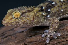 Thick toed gecko / Chondrodactylus turneri Stock Photos