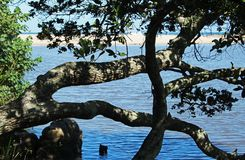 Thick tree branches hanging over lagoon at Ramsgate, Kwazulu Natal., Kwazulu Natal. Thick tree branches hanging over blue lagoon water at Ramsgate, Kwazulu Royalty Free Stock Photography