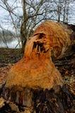 Thick tree stump beaver bitten Stock Images