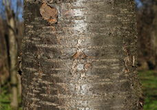 Thick tree trunk closeup, cherry tree background Stock Images