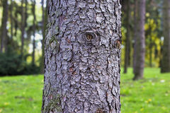 Thick tree trunk closeup Royalty Free Stock Photography
