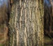 Thick tree trunk closeup, locust tree Royalty Free Stock Photography