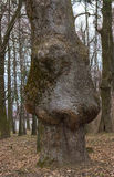 Thick tree trunk with strange disease Royalty Free Stock Images
