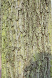Thick tree trunk Stock Image