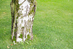Thick trunk of a birch on background grass Royalty Free Stock Image