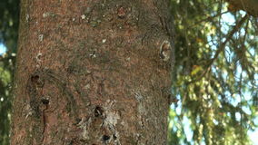 Thick trunk of the pine tree in the park stock video footage