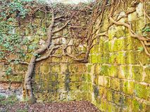 Thick vines grow on an ancient ruined wall. Thick vines grow up the ancient city walls of the medieval town of Sovana in Italy Royalty Free Stock Images