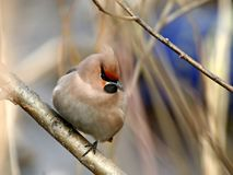 Thick waxwing on a branch. Thick ruffled up cedar waxwing on a branch of a tree Stock Image