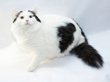 Thick white cat with black spots fearfully sitting Royalty Free Stock Image