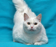 Thick white cat Stock Photos