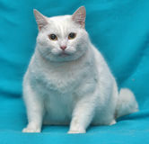 Thick white cat Stock Images