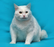 Thick white cat Royalty Free Stock Images