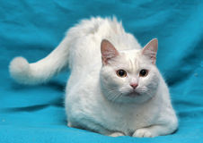 Thick white cat Stock Image