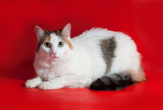Thick white cat with colorful tail sitting on red Royalty Free Stock Photos