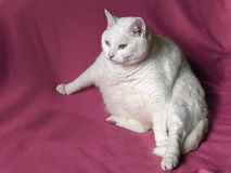 Thick White Cat on Pink Blanket Stock Photo