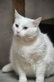 Thick white cat Royalty Free Stock Photography