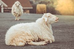 The thick white sheep are lying on the grass in a farm Stock Photography