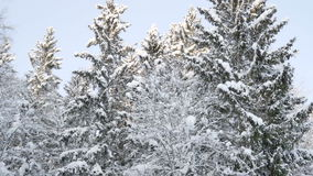 Thick white snow covered the trees in the forest. The forest in Scandinavia has trees filled with snow during the winter season stock video footage