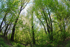 Thick wild deciduous forest green landscape Royalty Free Stock Images