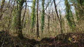 Thick forrest. A thick young forrest taken from ground level royalty free stock image