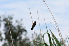 Thickbilled Weaver Bird On Reed amblyospiza albifrons. Thickbilled weaver bird amblyospiza albifrons perched high up on a reed stem, Pretoria, South Africa royalty free stock photos