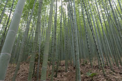 Thicket in bamboo forest Stock Images