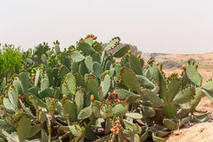 Thicket of cactus Opuntia ficus-indica in Negev desert. Royalty Free Stock Photography
