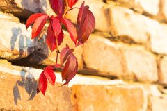 Thicket creeper shoot hanging on wall in autumn royalty free stock image