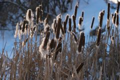 Thicket of dry lake reeds with fluffy inflorescences in the evening light. Winter landscape. Thicket of dry lake reeds with fluffy inflorescences in the evening Royalty Free Stock Image