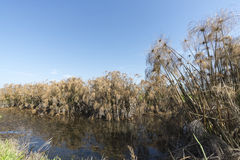 Thicket of Papyrus plant in Galilee. Royalty Free Stock Photo