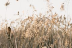Thicket of reeds Stock Photography