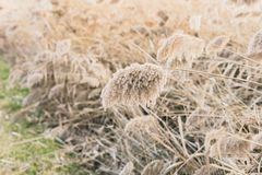 Thicket of reeds Royalty Free Stock Images