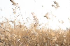 Thicket of reeds Stock Images
