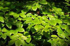 Thicket spring beech chestnut twigs and leaves Stock Images
