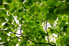 Thicket spring beech chestnut twigs and leaves Royalty Free Stock Photography
