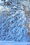Thicket of spruce trees covered by snow. Sunlit majestic evergreen trees on a bright winter day Royalty Free Stock Images